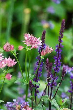 Astrantia Roma and Salvia Caradonna, great combination - photo by Clive Nichols