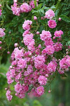 DOROTHY PERKINS climbing rose