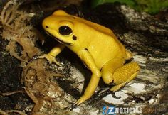 a rana dardo dorada es considerada el animal más venenoso de la Tierra. Es una especie única que mide unos 5 centímetros y tiene veneno suficiente como para matar a diez hombres adultos.