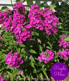 Beautiful purple phlox are an easy to grow perennial for a summer flower garden