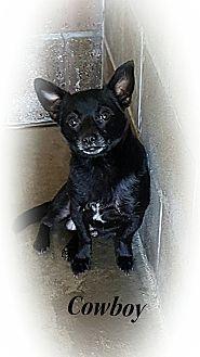 muskogee, OK - Chihuahua Mix. Meet COWBOY, a dog for adoption. http://www.adoptapet.com/pet/18347854-muskogee-oklahoma-chihuahua-mix
