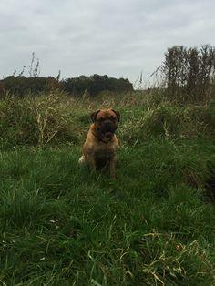 Anton Mischling - Englische Bulldogge / Bordeaux Dogge | Pawshake