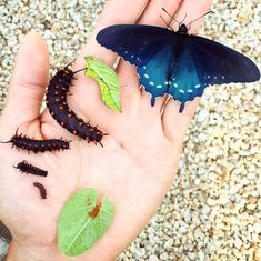Various stage of pipevine swallowtail growth (from bottom: eggs, different growth stages of the caterpillar, chrysalis, full butterfly). -  How one man repopulated a rare butterfly species in his backyard