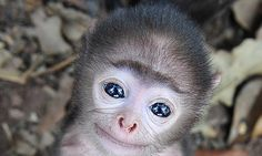 Is this the world's cutest baby monkey? Tiny grey langur shows his beautiful blue eyes during stunning close-up