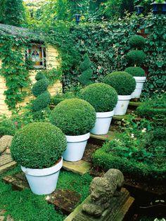 Plantas para jardines pequeños: Boj
