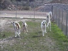 Finally, an enjoyable/refreshing video -- GH playtime!▶ Noahs Arc rescue dogs'  Galgo Gathering - YouTube