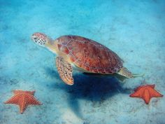 Sea turtle, Casey Key, Florida, Professor Beach; Gulf of Mexico; Sarasota County; beaches, underwater, undersea