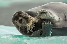 Морской заяц, или лахтак, — существо настолько дружелюбное и игривое, что непрочь и пофлиртовать с фотографом во время съемки