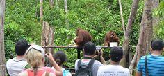 Orangutan borneo Indonesia - http://www.orangutantourist.com/borneo-tours/orangutan-borneo-3d-2n #orangutantours #orangutanadventure #borneoorangutantours