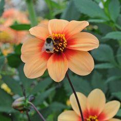 Die Dahlie 'Sunshine' bildet sonnige Blüten, die sommerliches Flair in den Garten zaubern. Pflanzzeit ist im Frühling. Knollen gibt's bei www.fluwel.de