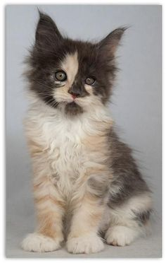 http://www.mainecoonguide.com/how-to-tell-if-a-kitten-is-a-maine-coon/ #catandkittens