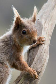 Ecureuil branche grise