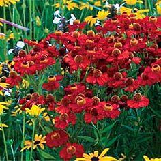 "Helenium ""Red Jewel"" 2ft tall, brick red, attracts butterflies, deer proof!"