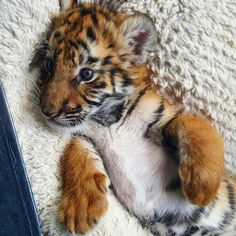 Khloe the baby tiger will one day become the world's mightiest big cat, but for the time being she is simply a cute little ball of fur! Tiger Pictures, Cute Animal Pictures, Beautiful Cats, Animals Beautiful, Cute Baby Animals, Animals And Pets, Big Cats, Cute Cats, Amstaff Terrier