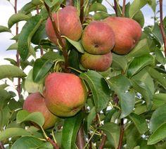 Goldrich | Zdravăn Apple, Pears, Garden, Plant, Apple Fruit, Pear, Apples