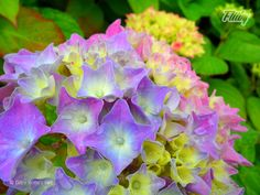 Photograph of beautiful and moist hydrangeas at England's Eden Project  #flower #photo #nature