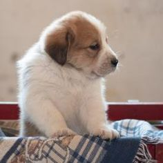 Copper - Bernese Mountain Dog Mix Puppy for Sale in Blairsville, PA | Lancaster Puppies Bernese Mountain Dog Mix, Honey Brook, Lancaster Puppies, Dog Mixes, Puppies For Sale, Corgi, Animals, Corgis, Animales