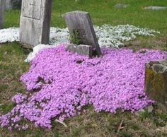 If I were gonna be buried, I would hope that flowers would grow around me like this.