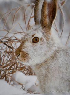 White-tailed Prairie Hare
