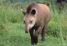 A anta (Tapirus terrestris), o maior mamífero da América do Sul, era encontrada em todo Brasil, mas hoje está extinta na Caatinga.