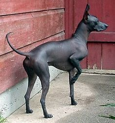 My new favorite dog. Peruvian Inca Orchid. So beautiful