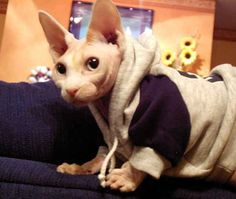 23 Photos That Prove Hairless Cats Are Actually Adorable Pretty Cats, Beautiful Cats, Pretty Kitty, Crazy Cat Lady, Crazy Cats, Sphynx, Hairless Cats, Sphinx Cat, Rex Cat