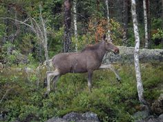 Nuori uroshirvi Young moose bull Moose, Animals, Animaux, Mousse, Animal, Animales, Elk, Animais