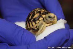 Une première au Canada, une tortue étoilée de Birmanie a vu le jour au Zoo de Toronto