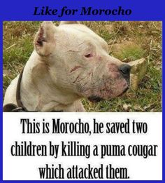 Like and repin for morocho the bravest dog