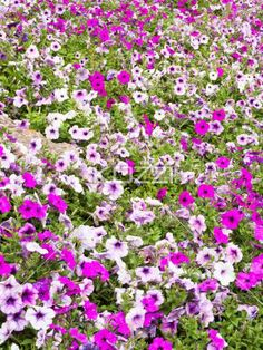 view of pink flowers in garden. - Close-up view of flower bed with pink flowers.