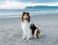 'Beach Boy' by Janet Wall (HowtoLoveYourDog.com), via Flickr. Visit howtoloveyourdog.com lots of great information on raising and training your dog in a kind, compassionate, and humane way. #collie #beach #ocean