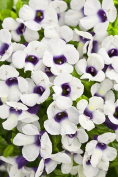 How to grow Torenia or Wishbone flower as a replacement for impatiens in the shade garden