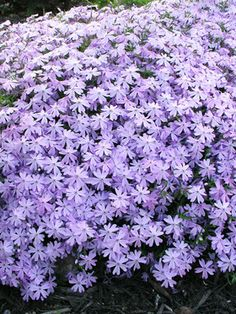 Phlox Blue - use as groundcover under the oak in front yard.