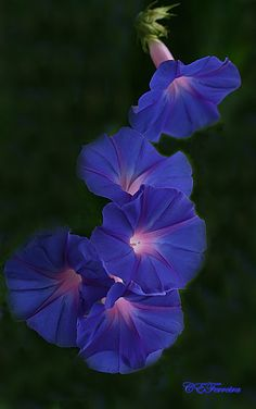 "morning glory meaning-- ""The morning glory flower blooms and dies within a single day. In the Victorian meaning of flowers, morning glory flowers signify love, affection or mortality."