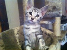 rescue little white savanah kittens Little White, Cat Breeds, Savannah Chat, Cats And Kittens, Adoption, Fur, Pets, West Yorkshire, Animals