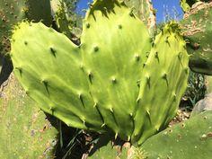 Organic edible cactus pads, gourmet quality
