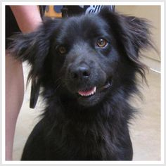 TOBY is a Flat coated retriever mix.