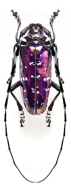 Anoplophora(Calloplophora) albopicta