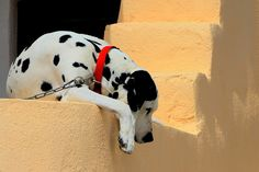 Dalmatian with red collar    Like and repin please :)