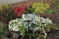 Herfstasters in bloei in de tuin.