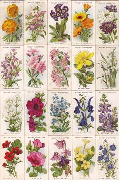 cigarettes card-Old English Garden Flowers-2nd series