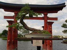 Barbados Cherry Bonsai Tree