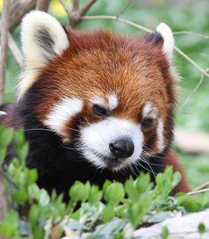 Amigurumi Panda Roux : 1000 idees sur le theme Pandas Roux sur Pinterest Pandas ...