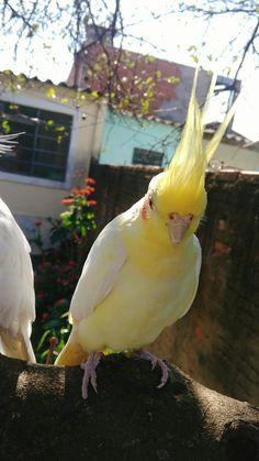 Lupi Cockatiel, Parrots, Pet Birds, Hawaii, Fish, Wall Art, Animals, Adorable Animals, Cutest Animals