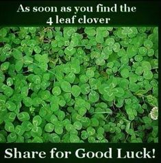 4 Leaf Clover Pictures, Photos, and Images for Facebook, Tumblr, Pinterest, and Twitter