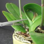 Trimming Orchid Spikes What is a way I can assist in the reblooming process? Here we have tips on trimming your orchid spikes.What is a way I can assist in the reblooming process? Here we have tips on trimming your orchid spikes. Indoor Orchids, Orchids Garden, Orchid Plants, Air Plants, Garden Plants, Indoor Plants, Indoor Orchid Care, Orchid Plant Care, Garden Loppers