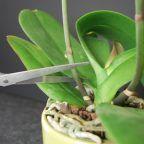 Una vez las flores de tus orquídeas acaban su ciclo vital se les puede cortar las varas florales para que vuelvan a florecer. Hay partidarios y detractores de esta técnica así que tú mismo. Simplem…