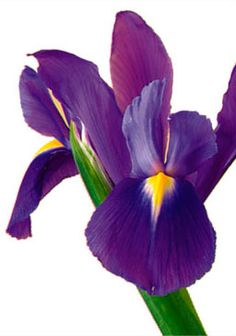 Iris...bunches delivered to my house as a surprise :)