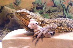 pringle-le-dragon-barbu-15