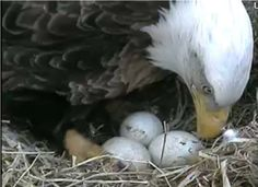 Three Eagle eggs 2012 from Decorah Eagles: A Time-Consuming Interest of Mine via http://logb-chiccoreal.blogspot.com